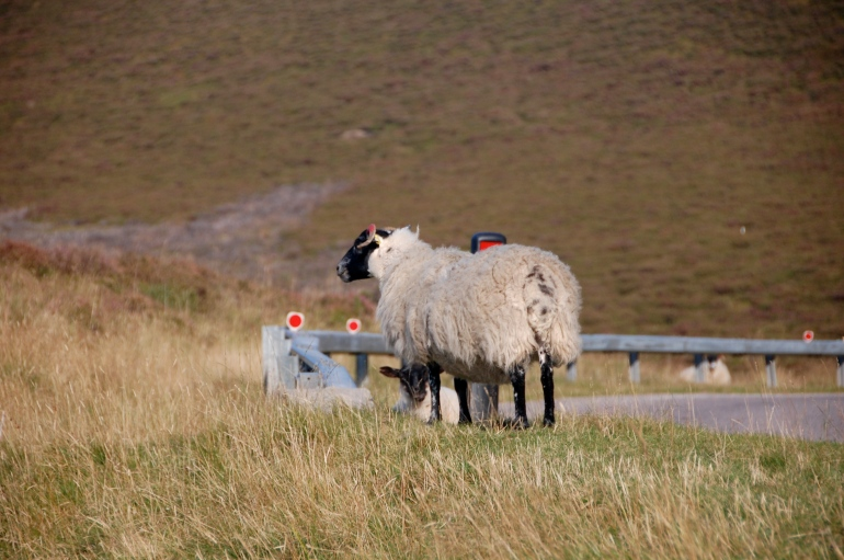 A lone sheep.