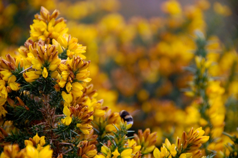 Bee's camouflaging in the sunny yellow bushes.