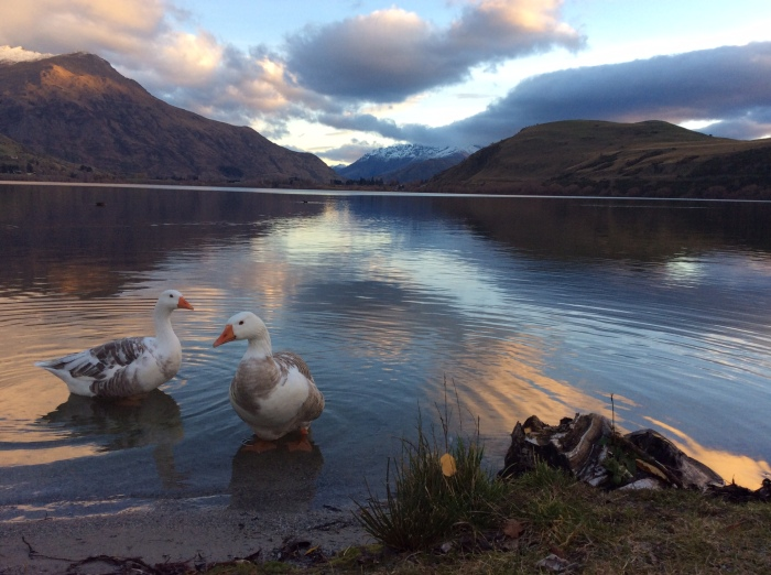 The friendly geese at Lake Hayes - weren't so eager to hang around once they realised what K was capable of!
