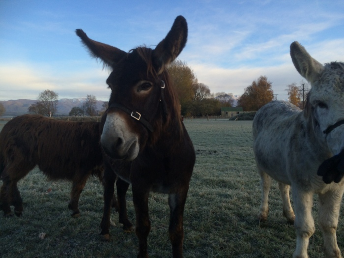 The adorable donkeys at Musterers, so friendly and cheeky